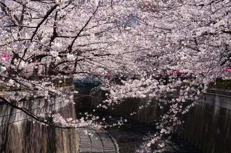 Beautiful cherry blossom tunnel over river.