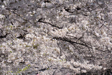 Sakura cherry blossom blooming in spring time. Фото со стока