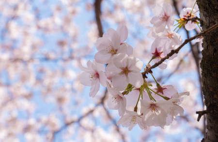 Close up beautiful sakura cherry blossom flowers blooming.