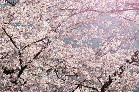 Cherry blossom blooming over the river.