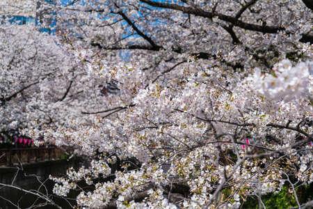 Beautiful cherry blossom sakura in spring time. 스톡 콘텐츠