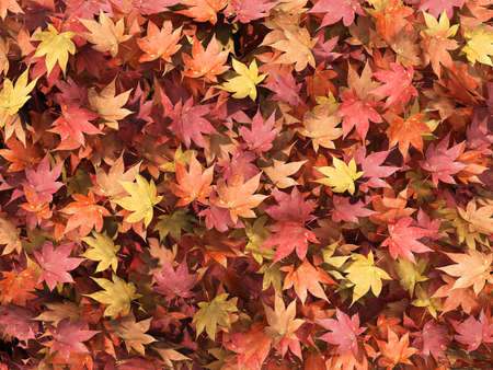 Autumn multicolored maple leaves background.
