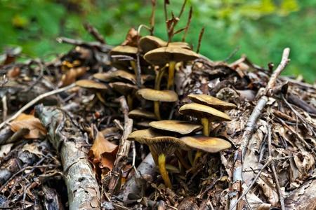 lactarius: Mushroom Lactarius Sanguifluus in forest