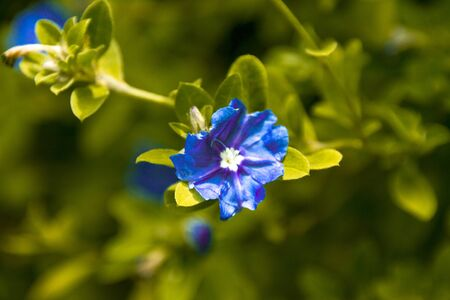 bright blue flower growing in garden shot in early morning natural daylight with shallow depth of field Фото со стока
