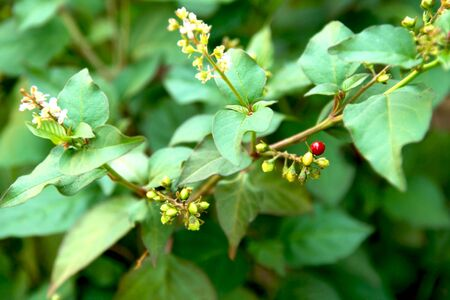 wild plant close up with hard green leaves and small white flowers and red berry