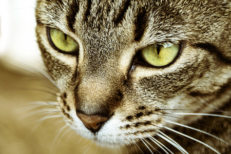 close up eyes: a close up shot of a striped cats face showing its green eyes and detail of fur