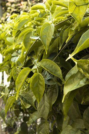 animal vein: A green leaf filled vine plant light by natural sunlight