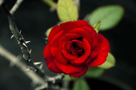 a flowering red rose next to sharp thorny stem growing side by side