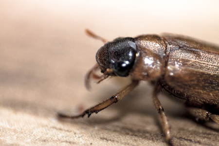 an extreme close up of a night beetle crawling on a beige or brown surface