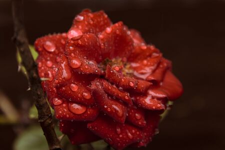 a fresh red rose growing off a thorny stem covered in beads of water droplets