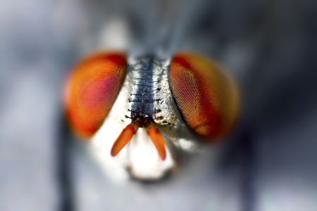 an extreme close up of a common house fly with red eyes in focus and background blurred Фото со стока