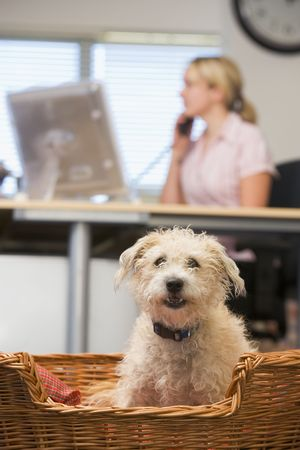 home office desk: Dog lying in home office with woman in background Stock Photo