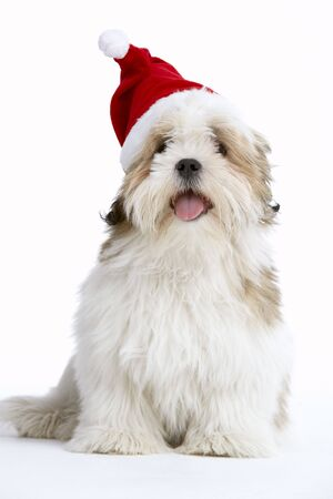 dressing up costume: Lhasa Apso Dog Wearing Santa Hat