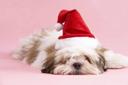 Lhasa Apso Dog Wearing Santa Hat photo