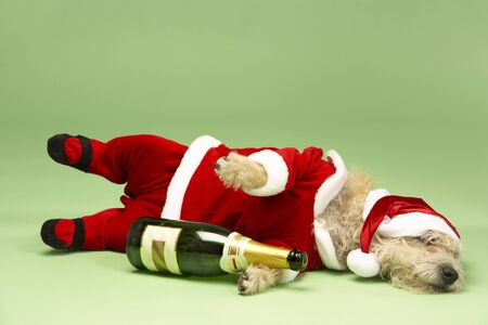 dressing up costume: Samll Dog In Santa Costume Lying Down With Champagne Bottle Stock Photo