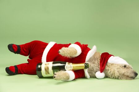 Samll Dog In Santa Costume Lying Down With Champagne Bottle photo