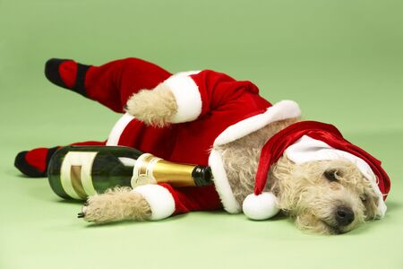 samll: Samll Dog In Santa Costume Lying Down With Champagne Bottle Stock Photo