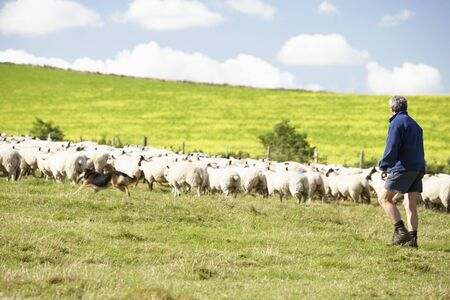 Two Farm Workers With Flock Of Sheep Stock Photo - 5040715