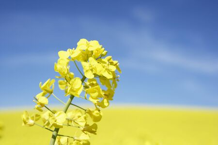 oilseed: Field Of Oilseed Rape