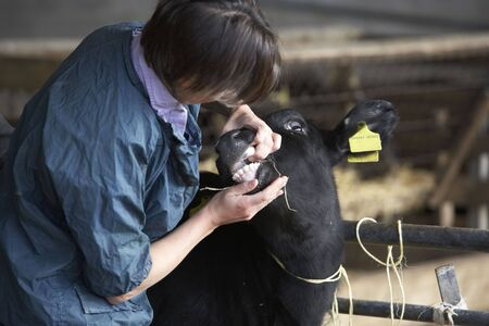 Vet Examining Calf photo