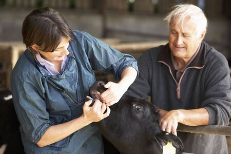 Farmer With Vet Examining Calf Stock Photo - 5041417