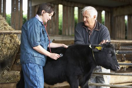 vetinary: Farmer With Vet Examining Calf
