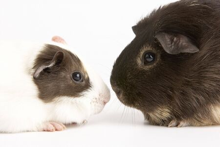 Two Guinea Pigs Against White Background photo