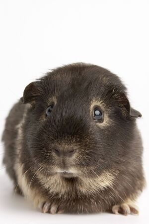 Guinea Pig Against White Background photo