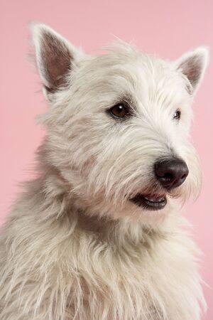West Highland Terrier Dog In Studio Stock Photo - 5297173