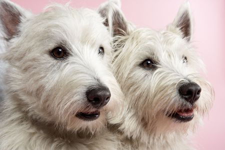 Two West Highland Terrier Dogs In Studio photo