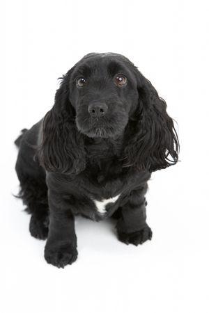 Black Spaniel Puppy In Studio photo