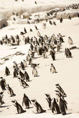 pinguinera: Sud�frica, Penguin Colonia