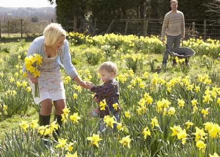 Young Family Walking Amongst Spring Daffodils