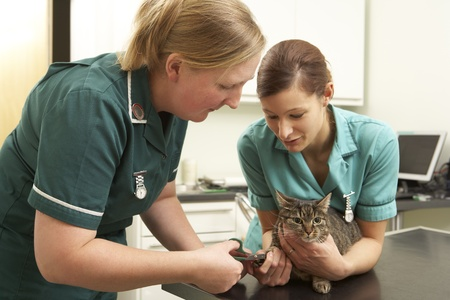 Female Veterinary Surgeon And Nurse Examining Cat In Surgery Stock Photo - 18709754