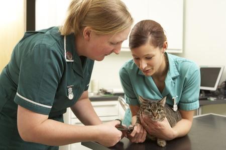 Female Veterinary Surgeon And Nurse Examining Cat In Surgery Stock Photo - 18709754