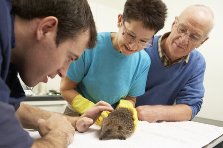 rescued: Male Veterinary Surgeon Examining Rescued Hedgehog In Surgery