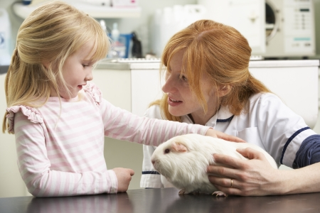 treating: Female Veterinary Surgeon Examining Childs Guinea Pig In Surgery