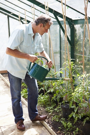 regar las plantas: Middle Aged Plantas de riego del hombre de tomate en invernadero