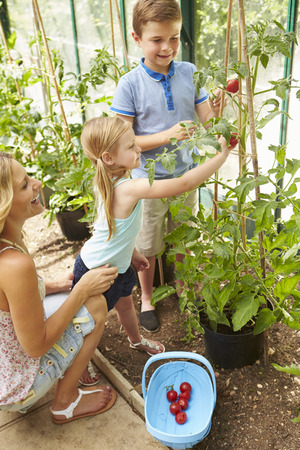 sufficiency: Mother And Children Harvesting Tomatoes In Greenhouse Stock Photo