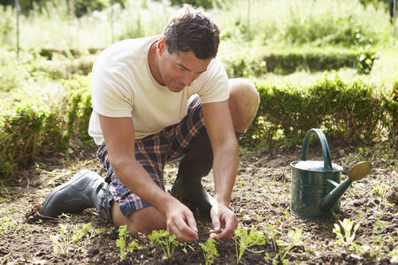 allotment: Man Planting Seedling In Ground On Allotment Stock Photo