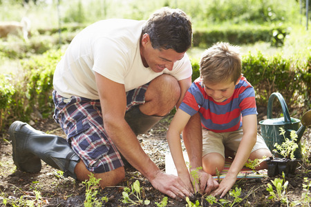 home garden: Father And Son Planting Seedling In Ground On Allotment