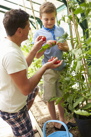 sufficiency: Father And Son Harvesting Home Grown Tomatoes In Greenhouse