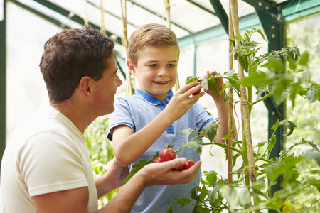 grown: Father And Son Harvesting Home Grown Tomatoes In Greenhouse