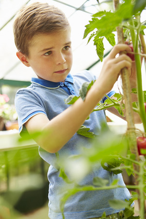 sufficiency: Boy Harvesting Home Grown Tomatoes In Greenhouse