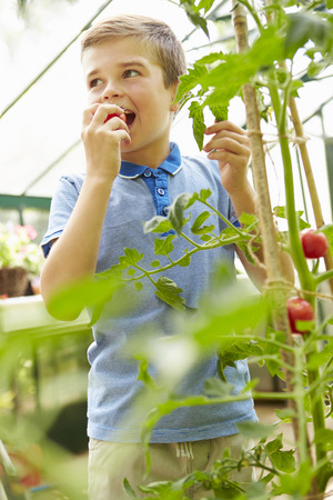 sufficiency: Boy Eating Home Grown Tomatoes In Greenhouse