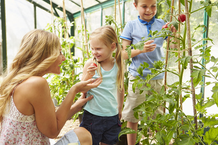 Mother And Children Harvesting Tomatoes In Greenhouse photo