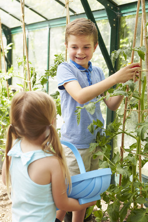 sufficiency: Children Harvesting Home Grown Tomatoes In Greenhouse