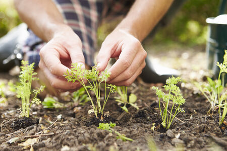 allotment: Close Up Of Man Planting Seedlings In Ground On Allotment Stock Photo
