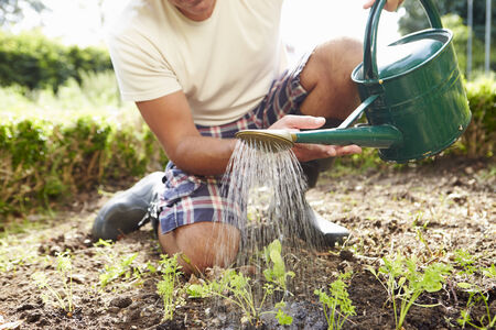allotment: Close Up Of Man Watering Seedlings In Ground On Allotment