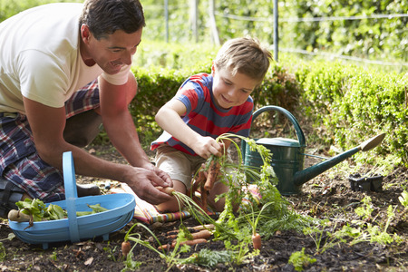 home garden: Father And Son Harvesting Carrots On Allotment Stock Photo